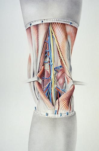 Medienarchiv der Künste | Anatomie der Kniekehle